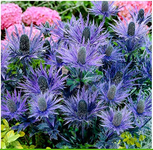"Tomasa Samenhaus- Selten Pflanzen Alpen Mannstreu""Blue Star""Blumensamen Garten Pflanzen Saatgut winterhart mehrjährig Blumen bienenfreundlich"