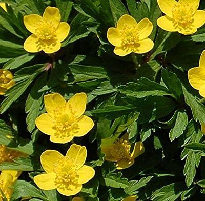 Gelbes Buschwindröschen - Anemone ranunculoides von Baumschule bei Du und dein Garten