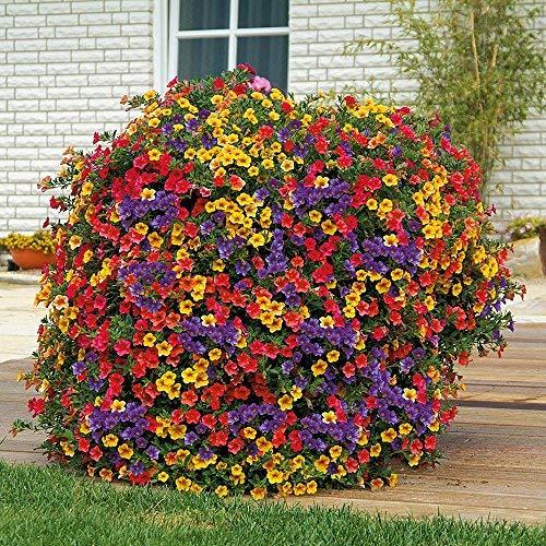 Anitra Perkins - 200 Stück Hängende Petunien Blumensamen gemischte Farben Blume Staude Bonsai Petunia Samen mehrjährig winterhart Leuchten Ihren Garten (7) -