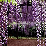 AIMADO Garten 5pcs / 10pcs Purple Wisteria Seeds Hausgarten 1 Pflanze Zierpflanzen Blumen Samen