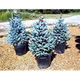 50pcs / bag raras semillas Spruce azules Escalada Evergreen abeto azul de la planta en maceta de Bonsai Pino de Navidad para la decoración del jardín