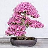 Yukio Samenhaus - selten 10 Korn Japanische Blütenkirsche Sakura-Samen winterhart Bonsai Samen Kirschblüte Hof Topfpflanze(Reich am Stamm blühender Freiland-Bonsai) (Violett)