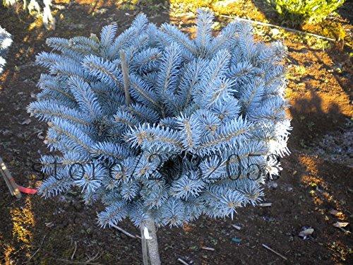 50-semillas-del-rbol-de-abeto-azul-de-las-semillas-del-rbol-de-hoja-perenne-bonsai-azul-de-colorado-