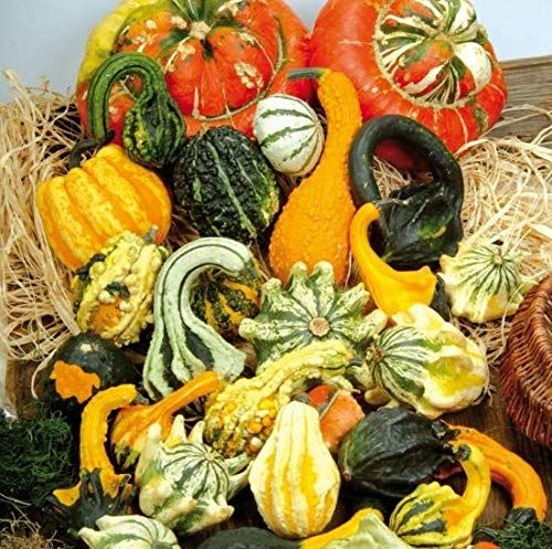 Yukio Samenhaus - Rarität Zierkürbis Sonderformen Kronenmischung Gemüsesamen Mischung exotisch Saatgut mehrjährig winterhart Herbstdekoration, zur Berankung von Spalieren und Zäunen