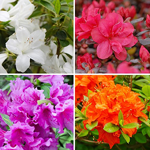 azalea-potted-plant-collection-hardy-evergreen-compact-dwarf-shrubs-including-red-white-orange-and-l
