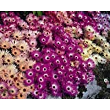 Mesembryanthemum Magic Carpet - - 100 semillas