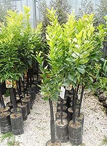 Pianta limone in fitocella pianta agrumi h 120 140 cm for Albero limoni in vaso