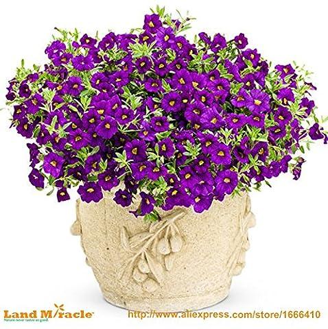 100Seeds-Purple Hybrides graines Calibrachoa Petunia, graines de Charme Petunia fleur, Pétunia graines en pot, Bonsai balcon fleur