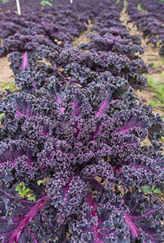Roter Grünkohl (Brassica oleracea var. sabellica) 200 Samen BIO