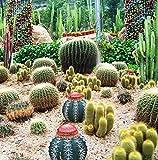 Packung mit 5 Stück 50 Samenmischung von Kakteensamen Cactaceae Kakteen Barbary Bild Bulbous Cactus Garden Seed F006