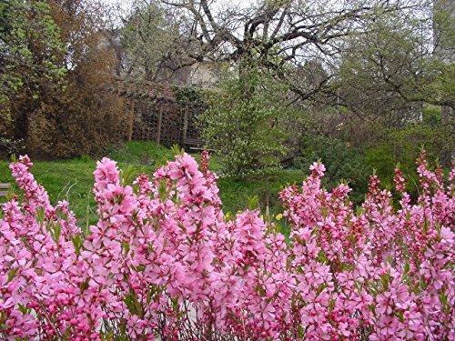 dwarf-russian-almond-amygdalus-nana-dwarf-fruit-shrub-in-a-8cm-pot-slow-growing-edible