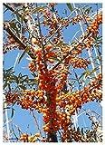 TROPICA - Olivello spinoso (Hippophae rhamnoides) - 40 Semi- Piante utili
