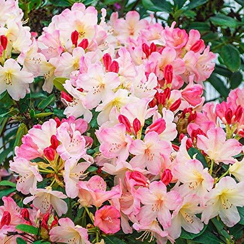Qulista Samenhaus - Rarität 100pcs Rhododendron Immergrün reichblühend Azalee Ziergehölze Blumensamen winterhart mehrjärhig für Pergolen, Zäune