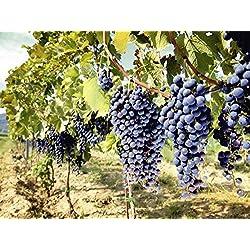 Artland Qualitätsbilder I Glasbilder Deko Bilder ilfede Toskanische Weintrauben Ernährung & Genuss Süßspeisen Fotografie Blau 60 x 80 x 1,1 cm A6WW