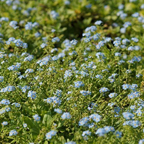 Blumixx Stauden Myosotis palustris 'Perle von Ronnenberg' - Sumpf-Vergissmeinnicht, im 0,5 Liter Topf, dunkelblau blühend