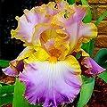 Yukio Samenhaus - exotisch 50 Stück Schwertlilien Iris Blumensamen winterhart mehrjährig Beetstaude mit unvergleichlichem Duft von Yukio auf Du und dein Garten