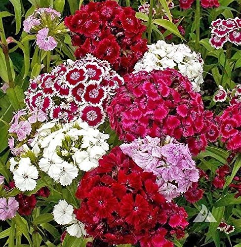 Pinkdose 500 Seeds: Sweet William, (Seeds) White/Pink/Red, Flower Seeds, Dianthus barbatus(500 Seeds) -