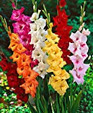 #10: Mixed Gladiolus Flower Bulbs - 8 Bulbs Assorted Colors of TOP Quality Flower Bulbs by GATE Garden