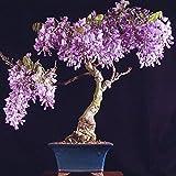 Yukio Samenhaus - 20 Stück Bonsai Chinesischer Blauregen Wisteria sinensis Blumensamen, Ein winterharter Blütentraum/Freiland-Bonsai