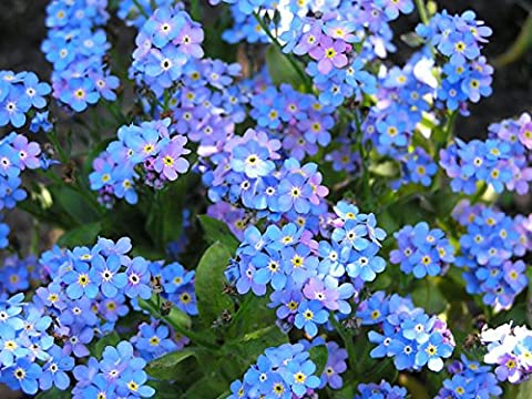 3 pks Forget-Me-Not Flower Seeds/Grateful spring bloomer for beds & balcony boxes