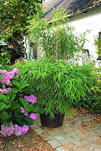Fargesia murielae Super Jumbo® - Hecken-Bambus Super Jumbo Preis nach Größe 80-100 cm