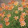 lichtnelke - Mädchenauge (Coreopsis) Sweet Marmalade von Lichtnelke Pflanzenversand - Du und dein Garten