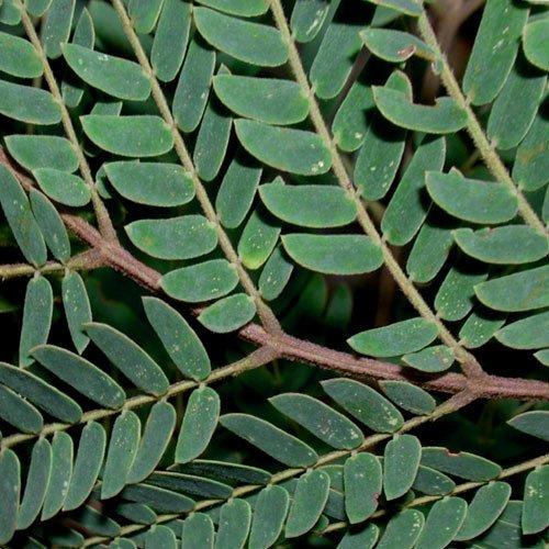 Plant World Seeds - Albizia Carbonaria Seeds