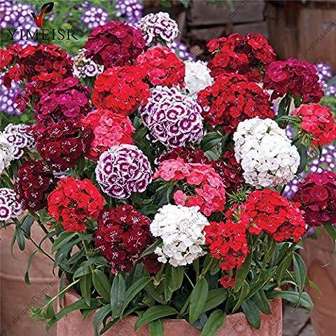 100pcs / bag 100% America True Dianthus Seeds, graines de fleurs mixtes couleur douce William Bonsai pour les plantes d'intérieur pour le jardin à la maison