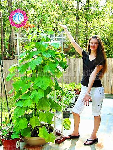 100pcs escalade des graines de concombre japon mini graines de légumes et de fruits concombre pour plantes en plein air alimentaire sain jardin à la maison