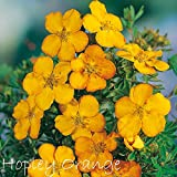 Fingerstrauch 'Hopley Orange' – Potentilla – Dasiphora fruticose Strauch mit orange-roten bis gelb-orangenen Blüten als Bodendecker oder Hecke – von Garten Schlüter - Pflanzen in Top Qualität