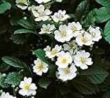 Rosa multiflora, Wildrose, Wurzelware