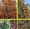 Vogelhecke, bestehend aus je 1* Pflanze: Apfelbeere (Aronia prunifolia Viking®), Sanddorn (Hippophae rhamnoides), Eberesche (Sorbus aucuparia), Schneebeere (Symphiocarpus Mother of Pearl®), Fruchtmispel (Cotoneaster franchetii) von Amazon.de Pflanzenser