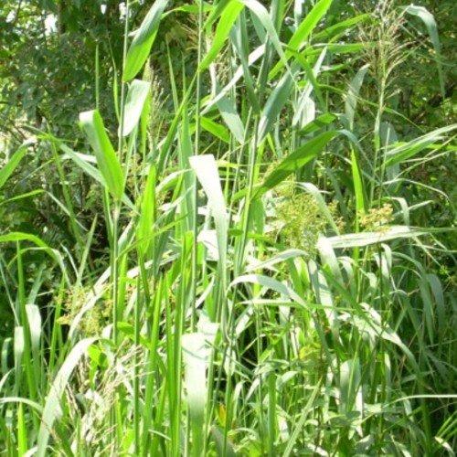 lichtnelke - Schilfrohr / Schilf / Schilfgras (Phragmites australis) Tb9