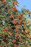 Eberesche. Vogelbeere. trägt rote Beeren. 1 Pflanze - zu dem Artikel bekommen Sie gratis ein Paar Handschuhe für die Gartenarbeit dazu