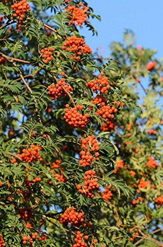 Eberesche. Vogelbeere. trägt rote Beeren. 1 Pflanze – zu dem Artikel bekommen Sie gratis ein Paar Handschuhe für die Gartenarbeit dazu