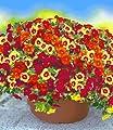 """BALDUR-Garten Zauberglöckchen Petunie """"Vulcano"""",6 Töpfe Calibrachoa Minipetunie 3 Farben in einem Topf von Baldur-Garten auf Du und dein Garten"""