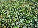 100 Stück Hedera hibernica * (Großblättriger Efeu), winterharter Sichtschutz, Bodendecker * Topf 3-4 Triebe 30-40 cm