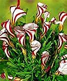 TRUE Oxalis Blumenzwiebeln (Oxalis Birne) selten Oxalis versicolor Candy Cane Sauerampfer Blume Dreh Gras Topf nach Hause Gartenpflanze 2 Lampe 1 samen nur