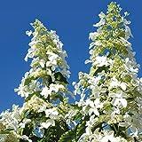 TOM-GARTEN, Gartenpflanzen, Rispen-Hortensie 'Levana', 1 Pflanze, 40-50 cm, lange Blütenstände