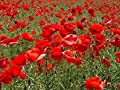 10,000 Seeds Papaver rhoeas Red Common Field Poppy Meadow Wild Flower seed seeds 10k Bulk wholesale BN