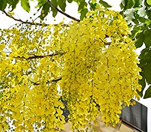 Trees with yellow flowers in india images flower decoration ideas indian climate suitable cassia fistula bright yellow flower tree indian climate suitable cassia fistula bright yellow mightylinksfo
