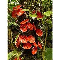 100 semillas piezas de Reishi Ganoderma lucidum Setas Semillas orgánicas Vegetable Seeds fácil de cultivar Para el hogar bricojardín 4