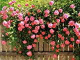 #3: Nooelec Seeds India E Garden Pink Climbing Rose Flower Seeds