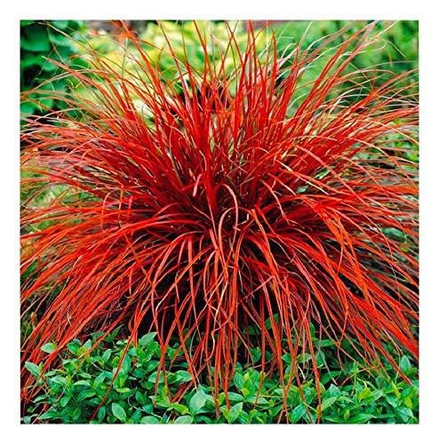Uncinia rubra 'Firedance' 1 Liter(Ziergras/Gräser/Stauden) Mahagoni Gras