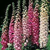 Pack x6 Foxglove Digitalis 'Excelsior Mixed' Bi-Annual Cottage Garden Plug Plants