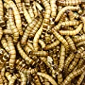 Free delivery 40g Morio Worms (approximately 70) by Uk Waxworms Ltd