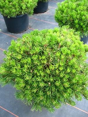Zwergkiefer, Pinus mugo var. pumilio 30 - 40 cm breit im 5 Liter Pflanzcontainer von Plantenwelt Wiesmoor auf Du und dein Garten