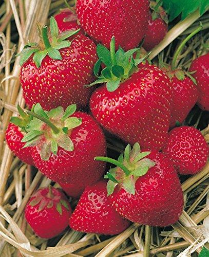 Erdbeere Korona®' - Fragaria x ananassa - mittelfrüh, ertragreich, leuchtendrot, groß, aromatische süße Früchte