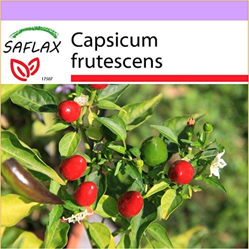 SAFLAX - Piment Red Finger - 25 graines - Capsicum frutescens