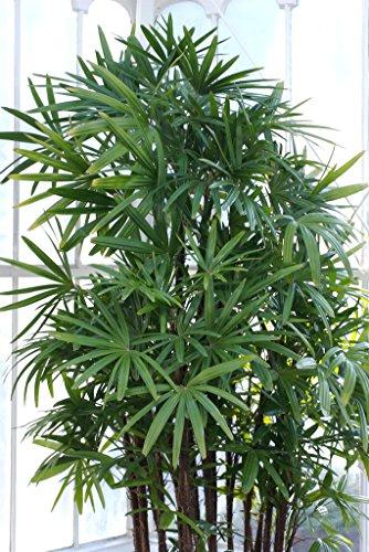 10 Windmühle Palmen Baumstrauch Broadleaf Lady Rhapis Excelsa Samen Zimmerpflanze